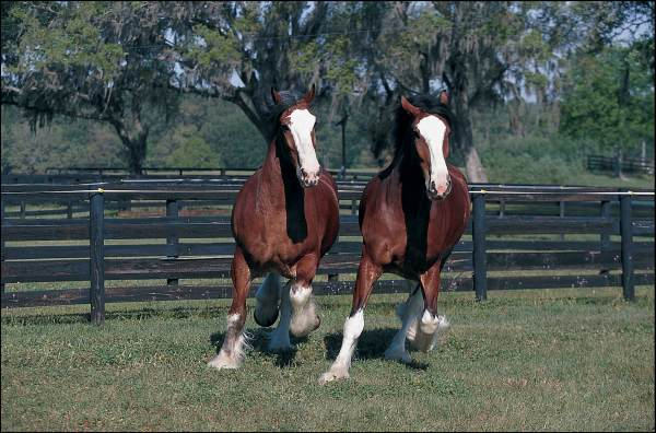Clydesdales Poster (Paper - rolled & sleeved)