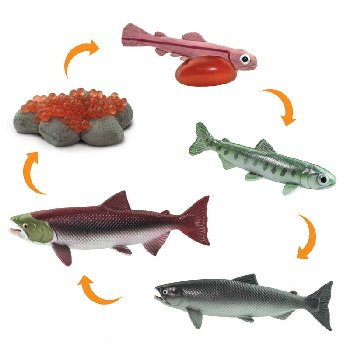 Life Cycle of a Salmon (Safariology)