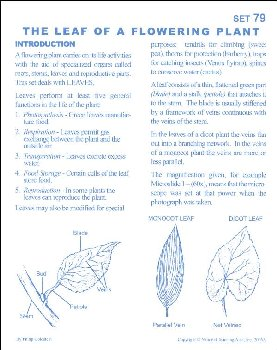 Leaf of Flowering Plant Microslide Lesson Set