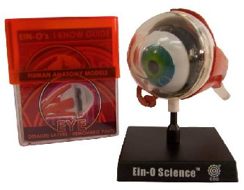Eye Human Anatomy Model