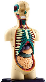 4D Human Body Torso Anatomy Model