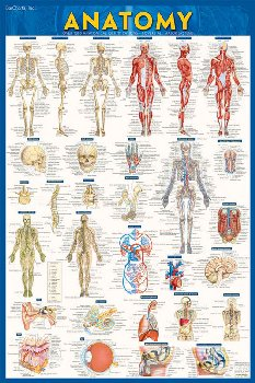 Anatomy Poster - Laminated