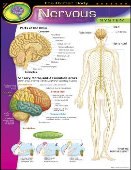 Human Body Nervous System Learning Chart