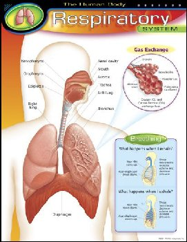 Human Body Respiratory System Learning Chart