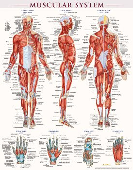 Muscular System Poster - Laminated