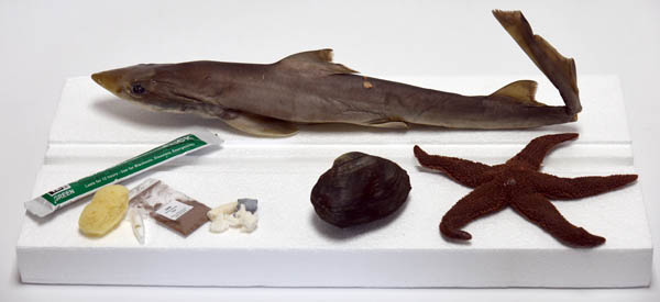 Marine Biology Dissection Specimens (Clam, Starfish, and Dogfish Shark)