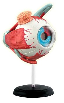 4D Eyeball Anatomy Model