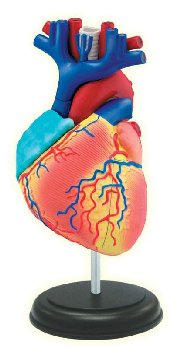 4D Heart Anatomy
